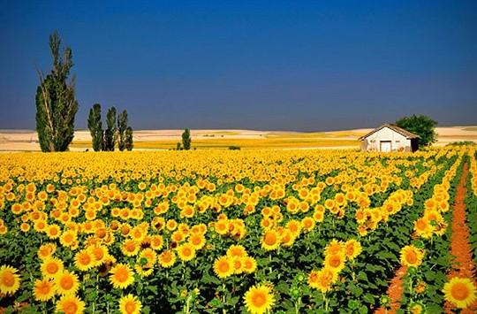sunflowers beautiful photography shot