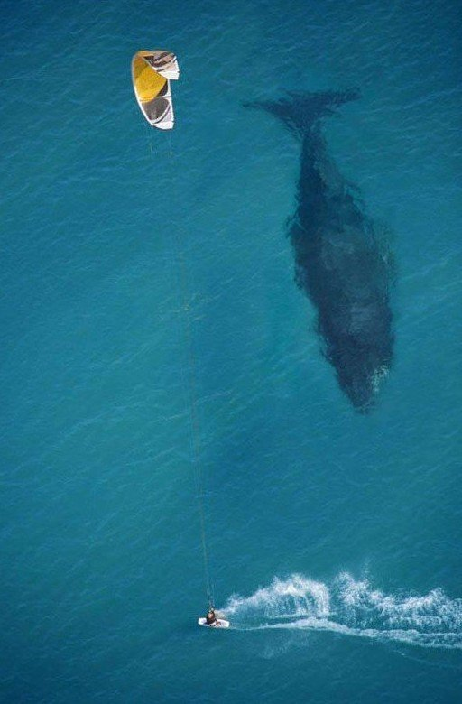 kite surfing with whale below aerial shot from above
