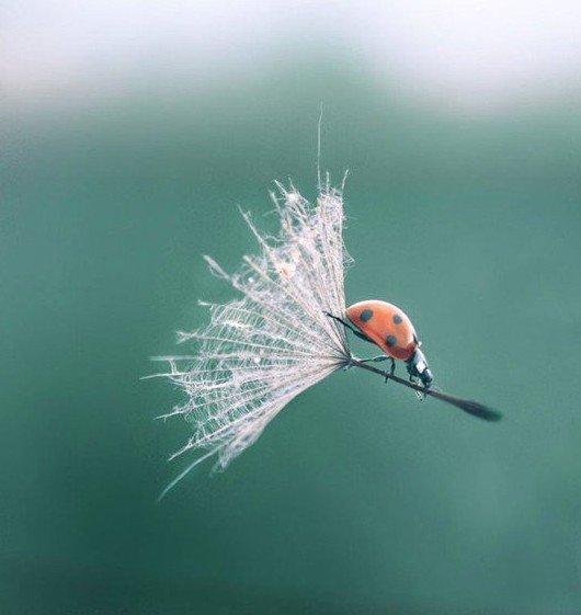 ladybug dandelion