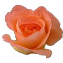 Peach, Rose Icon